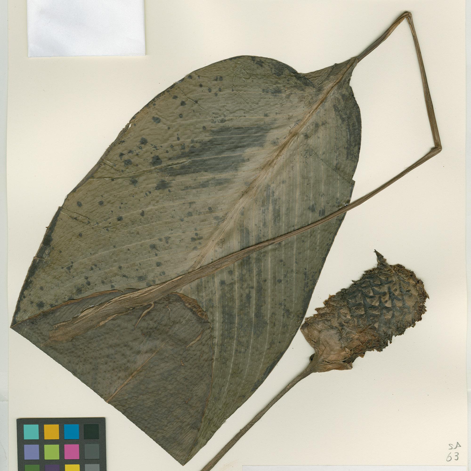 <em>Calathea grazielae</em> H.Kenn. & Marcelo