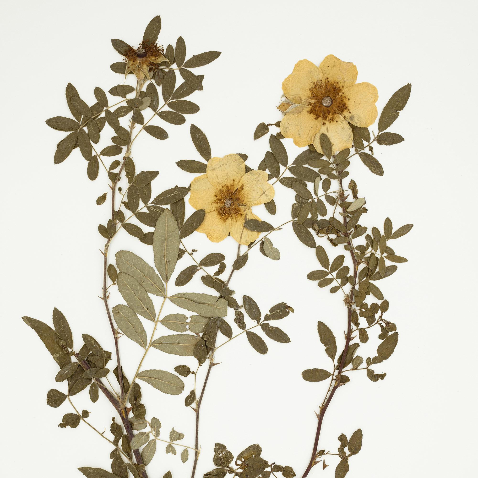 <em>Rosa clinophylla</em> Redoute & Thory