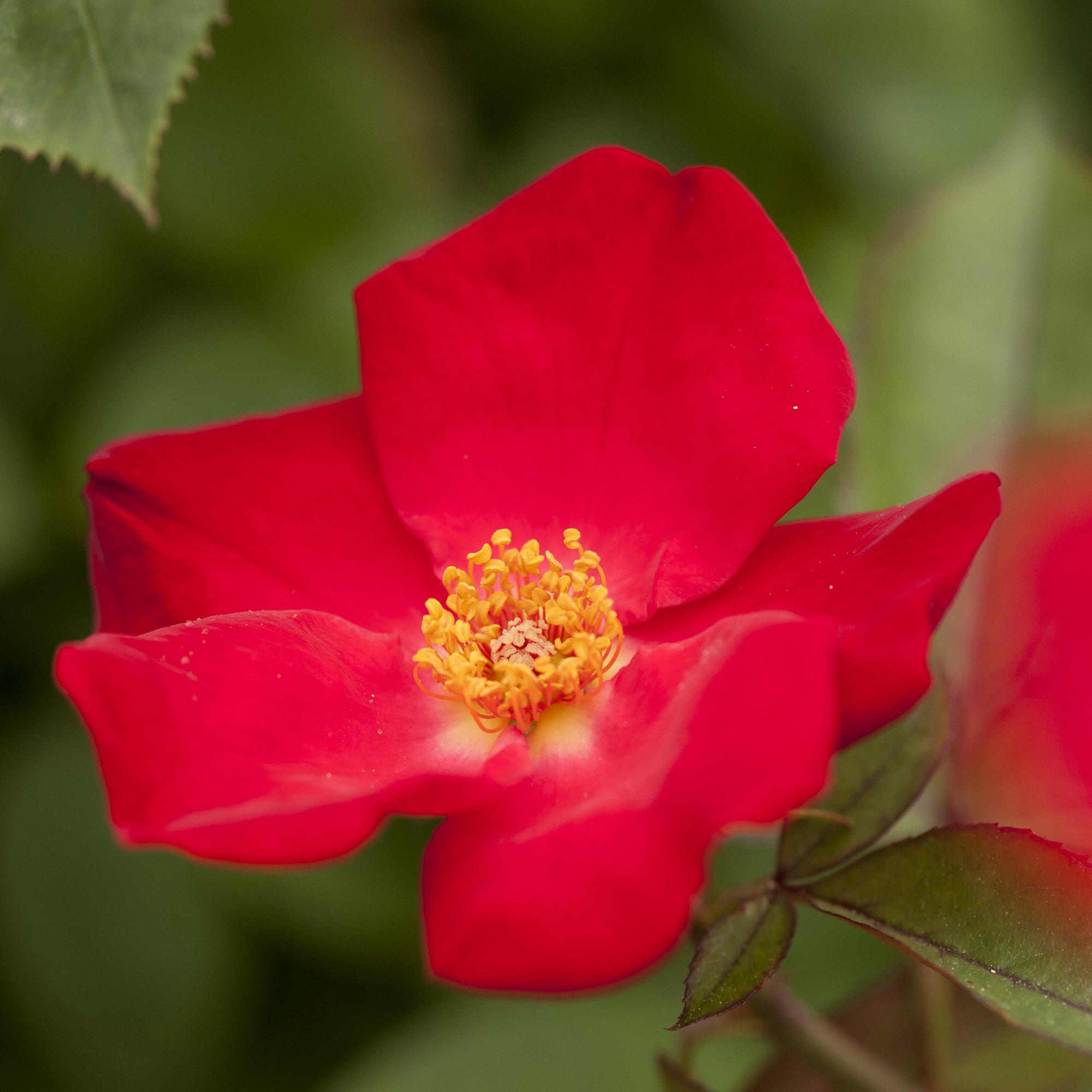 <em>Rosa</em 'Home Run'