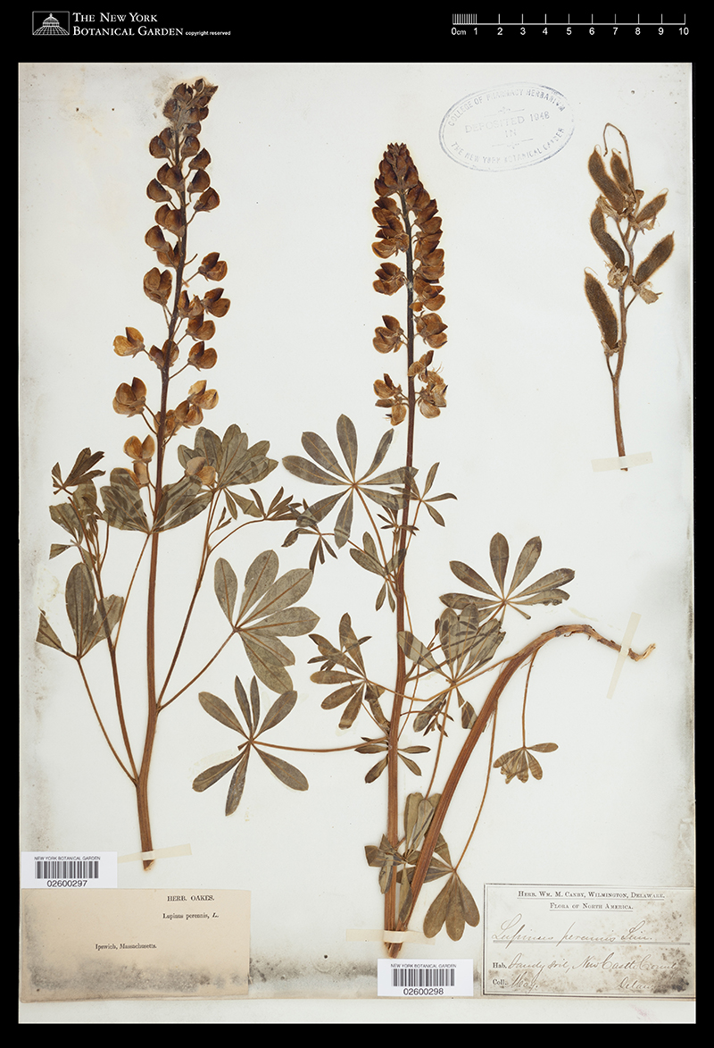 Herbarium specimen