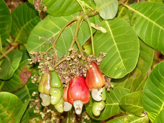 Anacardium occidentale L.