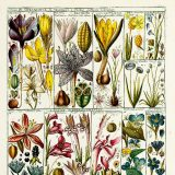 Color illustrations of plants