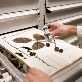 Photo of a scientist at work in the herbarium