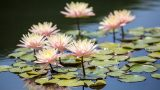 Photo of waterlilies