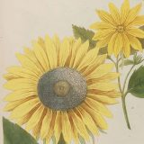Illustration of a sunflower