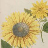 Illustration of a sunflower
