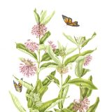 Illustration of butterfly weed. Botanical Art