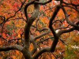 Maple Collection - Fall