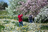 Visitors take a photo among the daffodils on Daffodil Hill with a cherry tree as the backdrop.