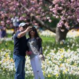 Couple talking a selfie in the yellow and white daffodils with pink cherry blossoms