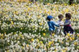 Children play in a field of daffodils.