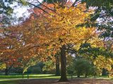 Orange and yellow leaves of maple trees