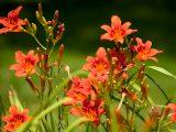 Daylilies - Summer