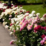 An array of herbaceous peonies in bloom.