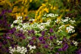 Purple, white and yellow flowers in the native plant garden
