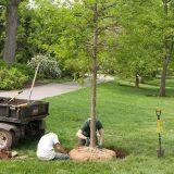Garden staff working on planing a medium size tree.