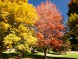 Orange and red maple trees