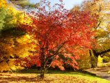 Maple trees in the fall with orange and red color leaves.