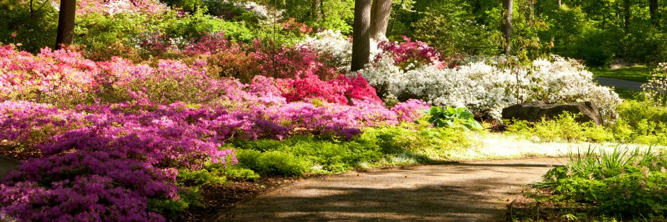 Photograph of Azalea garden