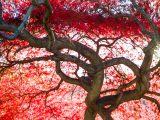 Red leaves on the maple trees