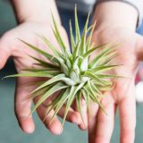 A child holding an air plant.