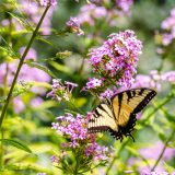 A butterfly among pink phlox flowers.