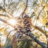 Two pinecones hanging from a branch with the sun streaming through the branches behind them.