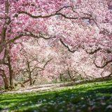 Magnolia Way, cherry trees in bloom