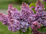 Lilac Collection - Spring