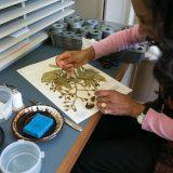 A scientist prepares an herbarium specimen.