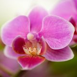 A purple and pink Doritaenopsis orchid.