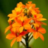 An orange Epidendrum orchid.