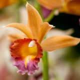 An orange, red, and purple Phaius orchid.