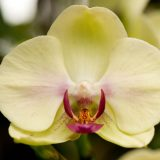 A white and purple phalaenopsis orchid.