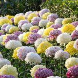 Yellow, white, and pink ogiku chrysanthemums.