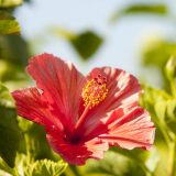 Photo of a hibiscus