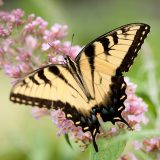 A yellow and black butterfly resting on a flower.