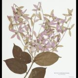 A Congea specimen from the Steere Herbarium.