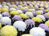 Rows of pink, white, and yellow chrysanthemums.