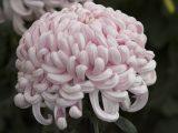 Closeup of a pink Chrysanthemum