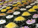 A display featuring several rows of different colored Chrysanthemums