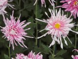 Pink and white chrysanthemums.