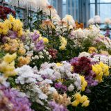 A chysanthemum display in the Nolen Greenhouses.