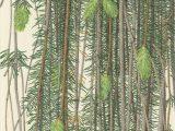 Finnan - Snake Branch Spruce