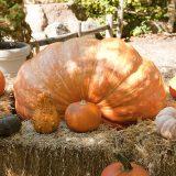 Photo of a giant pumpkin