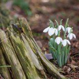 Snowdrops near a stump.