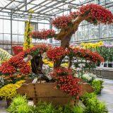 A large display of Kiku in the Nolen Greenhouses.