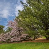 The Ross Conifer Arboretum in spring.