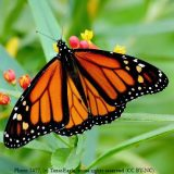 closeup of a monarch butterfly on a flower