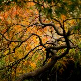 The branches of a Japanese Maple in fall.